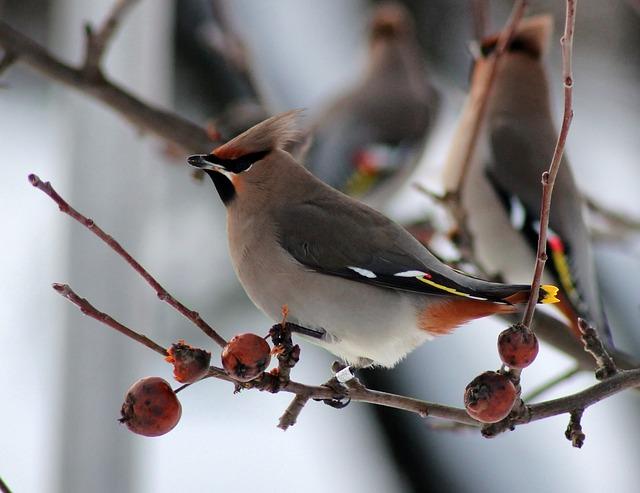 Bird, Birds, Ringed Bohemian Waxwing, Finland, Nature