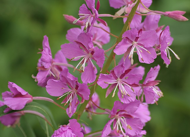 Nature, Fireweed, Summer, Plant