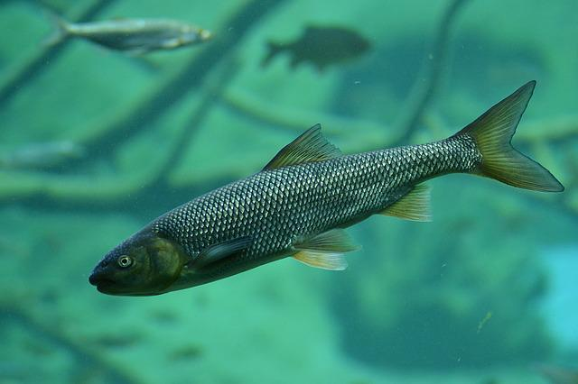 Brook Trout, Trout, Fish, Pond, Nature, Lake