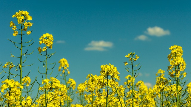 Flora, Flowers, Nature, Plants, Rapeseed, Sky