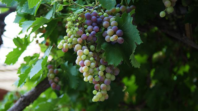 Nature, Fruit, Grape, Vine, Flora