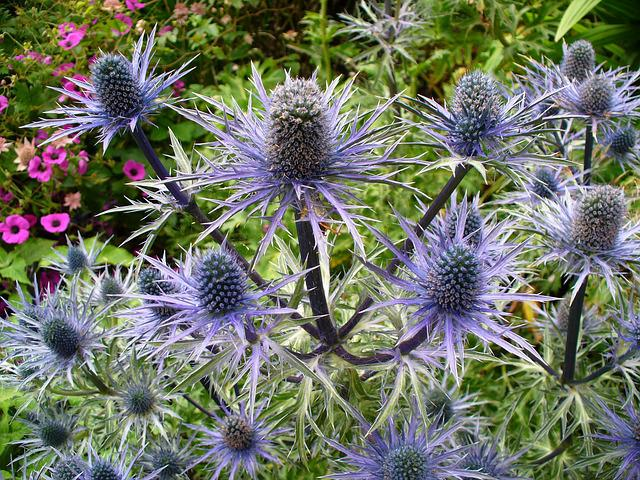 Thistle, Nature, Plant, Blue, Flower, Flora, Violet