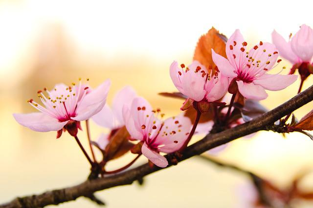 Flower, Nature, Branch, Plant, Petal, Blooming, Spring
