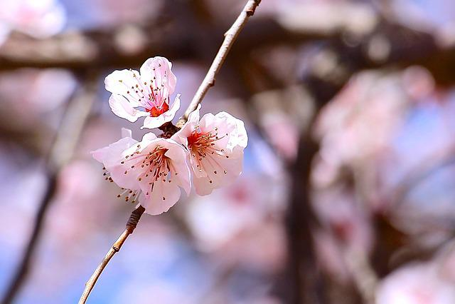 Spring, Sakura, Blossom, Flower, Plant, Nature, Park