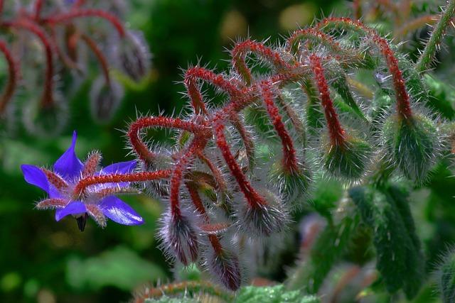 Borage, Flower, Nature