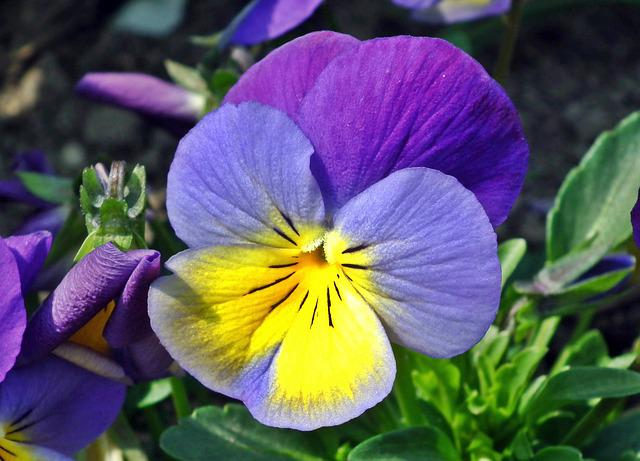 Flower, Pansy, Colored, Plant, Garden, Leaf, Nature