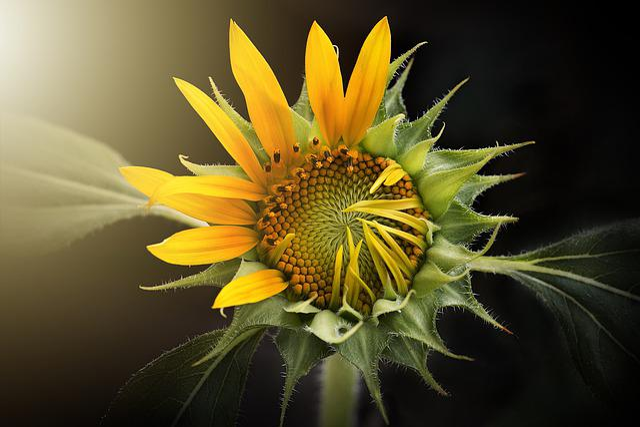 Nature, Flora, Flower, Leaf, Sunflower
