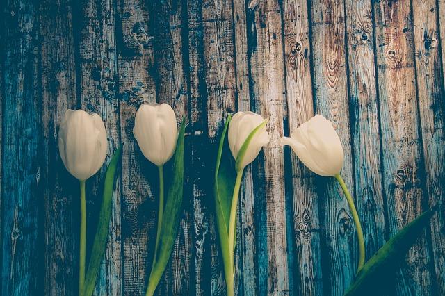 Tulip, Flower, Nature, Flowers, Netherlands, Spring