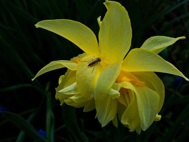 Narcissus, Daffodil, Amaryllis Plant, Flower, Nature