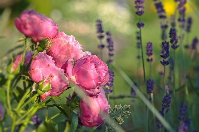 Flowers, Pink, Roses, Flower, Nature, Summer