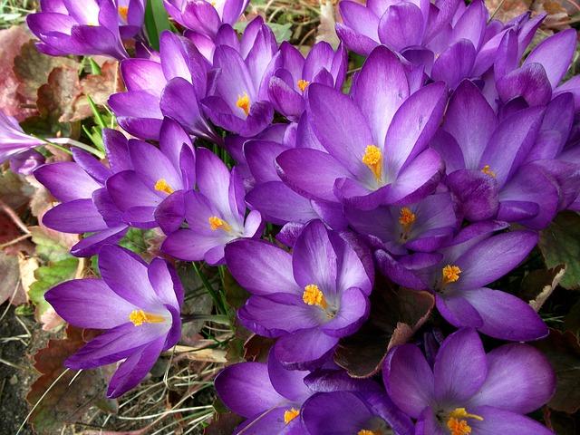 Flower, Krokus, Violet, Nature, Plant, Blooming, Garden