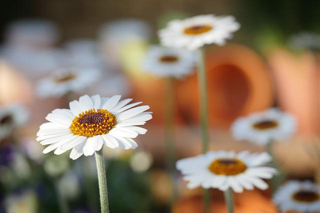 Nature, Daisies, Daisy, Flower, Plant, Spring, Flowers