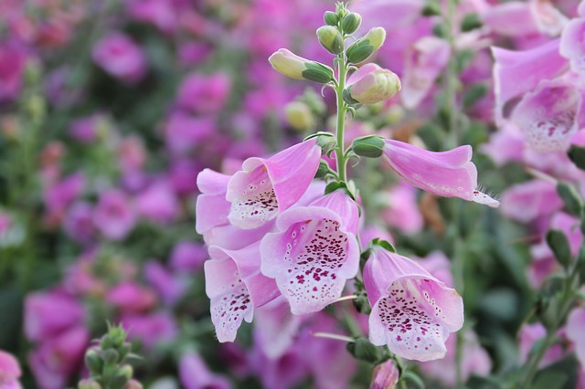 Foxglove, Flower, Pink, Nature, Plant, Digitalis