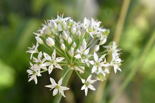 Plant, White, Garlic, Garden, Nature, Flower
