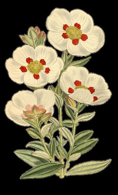 Nature, Flower, Leaf, Plant, Isolated, Vintage, Blossom