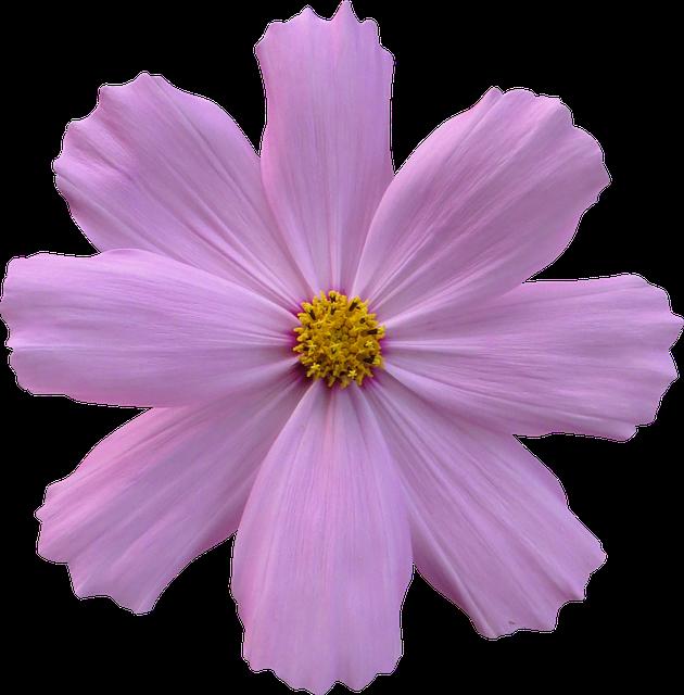 Cosmos, Flower, Garden, Nature, Purple
