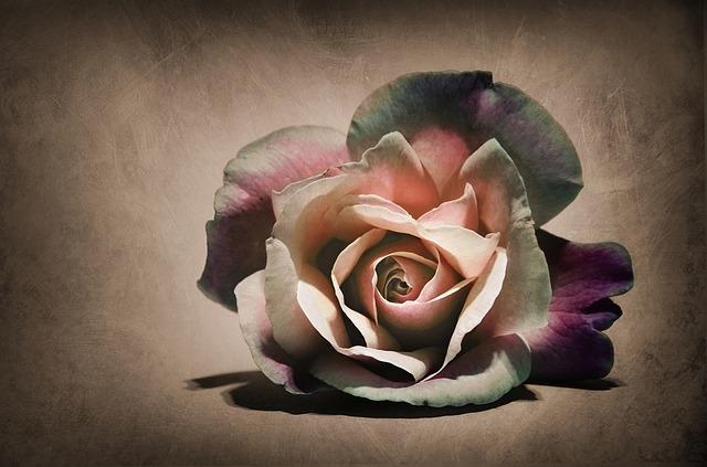 Flower, Rosa, Nature