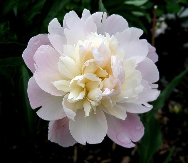 Peony, Flower, Pink, Nature, Spring, Flower Garden