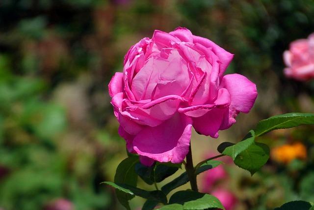 Rosa, Pink, Flower, Petals, Spring, Plant, Nature