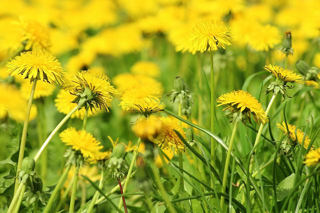 Dandelion, Spring, Meadow, Nature, Plant, Flower