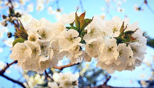 Cherry, Blossom, Spring, Nature, Tree, Branch, Flower