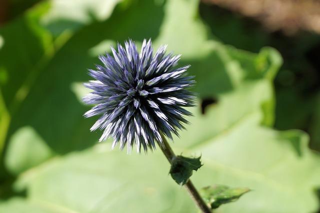 Thistle, Flower, Blossom, Bloom, Plant, Purple, Nature