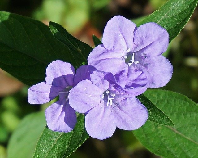 Wild Petunia, Close-up, Petunia, Nature, Flower