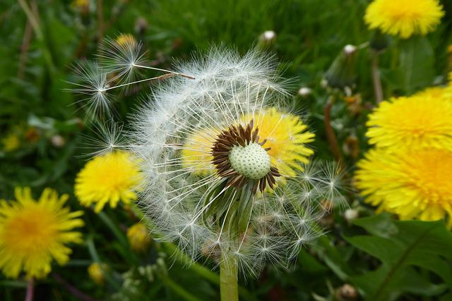 Dandelion, Nature, Flower, Plant, Summer, Yellow