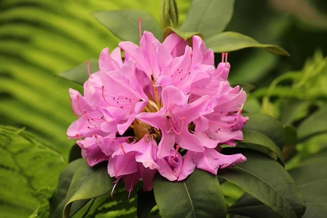 Rhododendron, Flowering, Spring, Nature