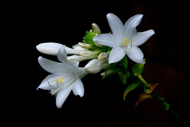 Flowers, Nature, Plants, Beautiful, Petal, Daylilies