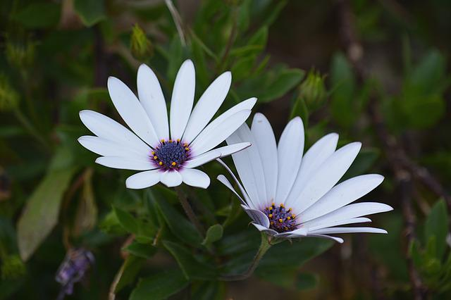 Daisies, Flowers, Nature, Garden, White, Petals, Botany