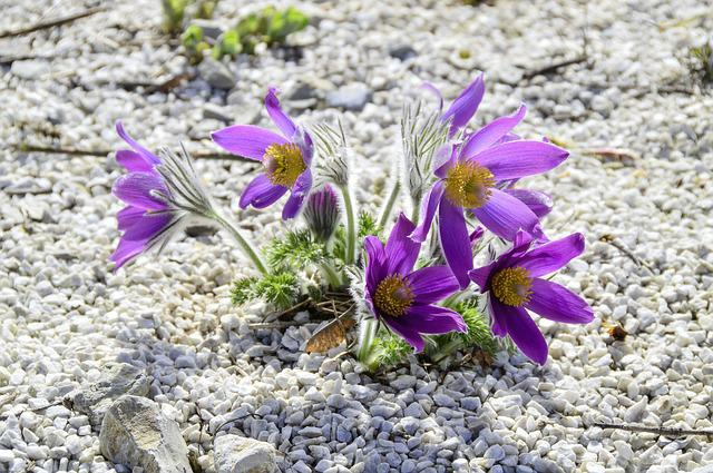 Flower, Nature, Plant, Flowers, Floral, Pasqueflower