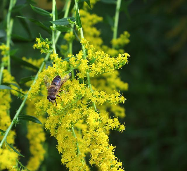 Golden Rod, Hoverfly, Flowers, Garden, Nature, Insect