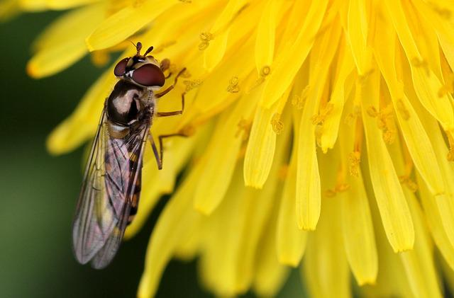 Insect, Fly, Nature, Flowers, Hoverfly