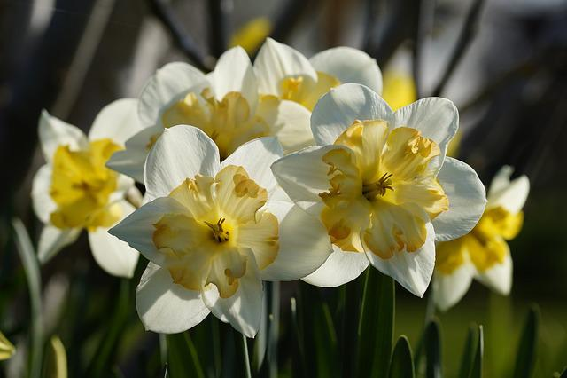 Daffodils, Osterglocken, Flowers, Nature, Narcissus