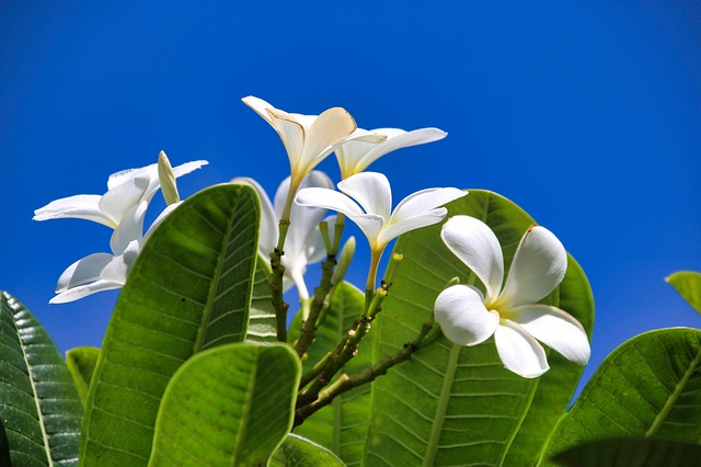 Flowers, White, Plumeria, Nature, Tropical, Plant
