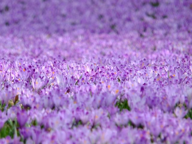 Crocus, Flowers, Violet, Spring, Nature, Purple