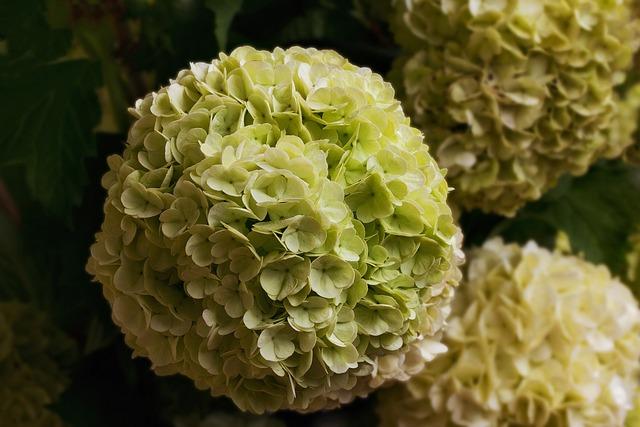 Nature, Flowers, Bush, Spring, Snow Ball