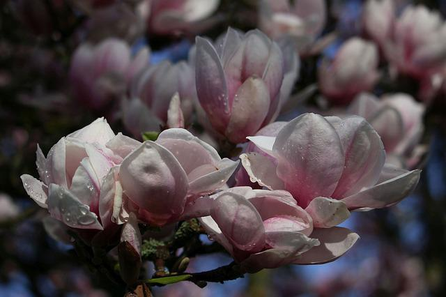 Magnolia, Flowers, Flower, Plant, Spring, Nature