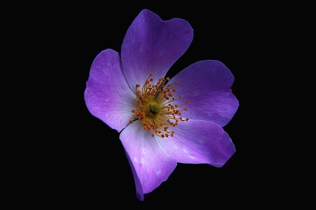 Flowers, Nature, Macro, Petals, Stamen, Flower, Violet