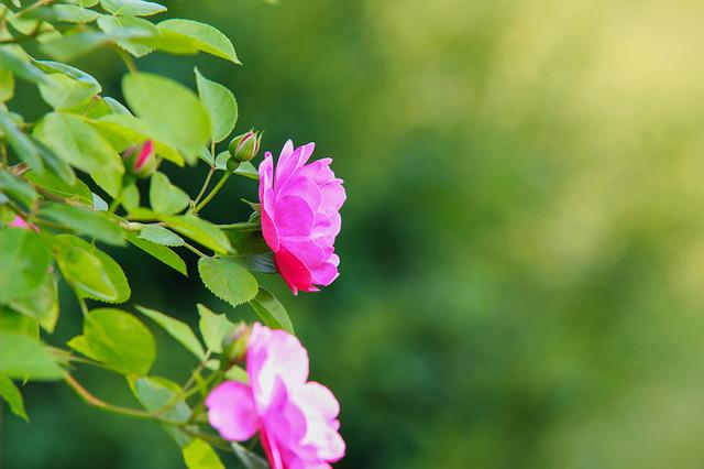 Nature, Leaf, Plants, Summer, Flowers, Rose