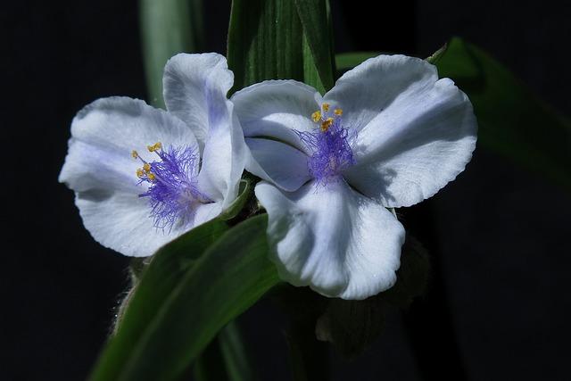 Three Master Flower, White, Flowers, Close Up, Nature