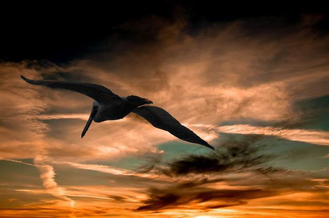 Pelican, Sunset, Clouds, Nature, Wildlife, Sky, Flying