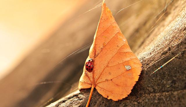 Ladybug, Leaves, Foliage Leaf, Insect, Beetle, Nature