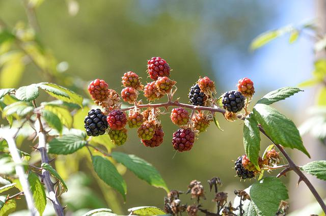 Fruit, Nature, Leaf, Food, Outdoors, Berry, Branch