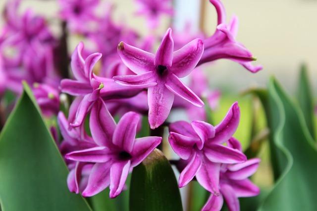 Forsycje, Spring Flowers, Violet, Flower, Plant, Nature
