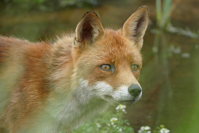 Nature, Fox, Close Up, Wild, Wildlife