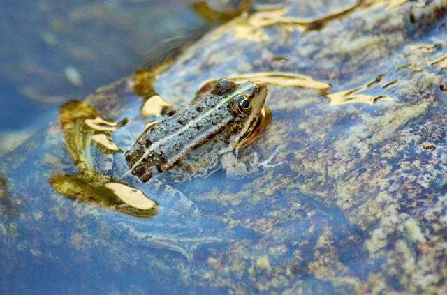 Toad, Frog, Gerardo, Water, Nature, Animal, Amphibian