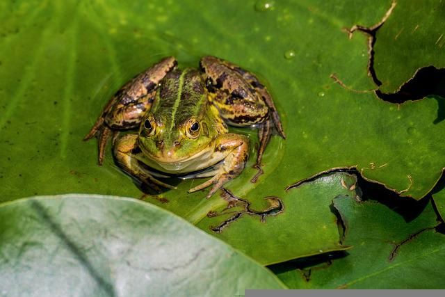 Frog, Lily Pad, Garden Pond, Nature, Water, Water Frog