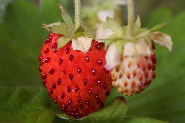 Berries, Nature, Fragaria Vesca, Fruits